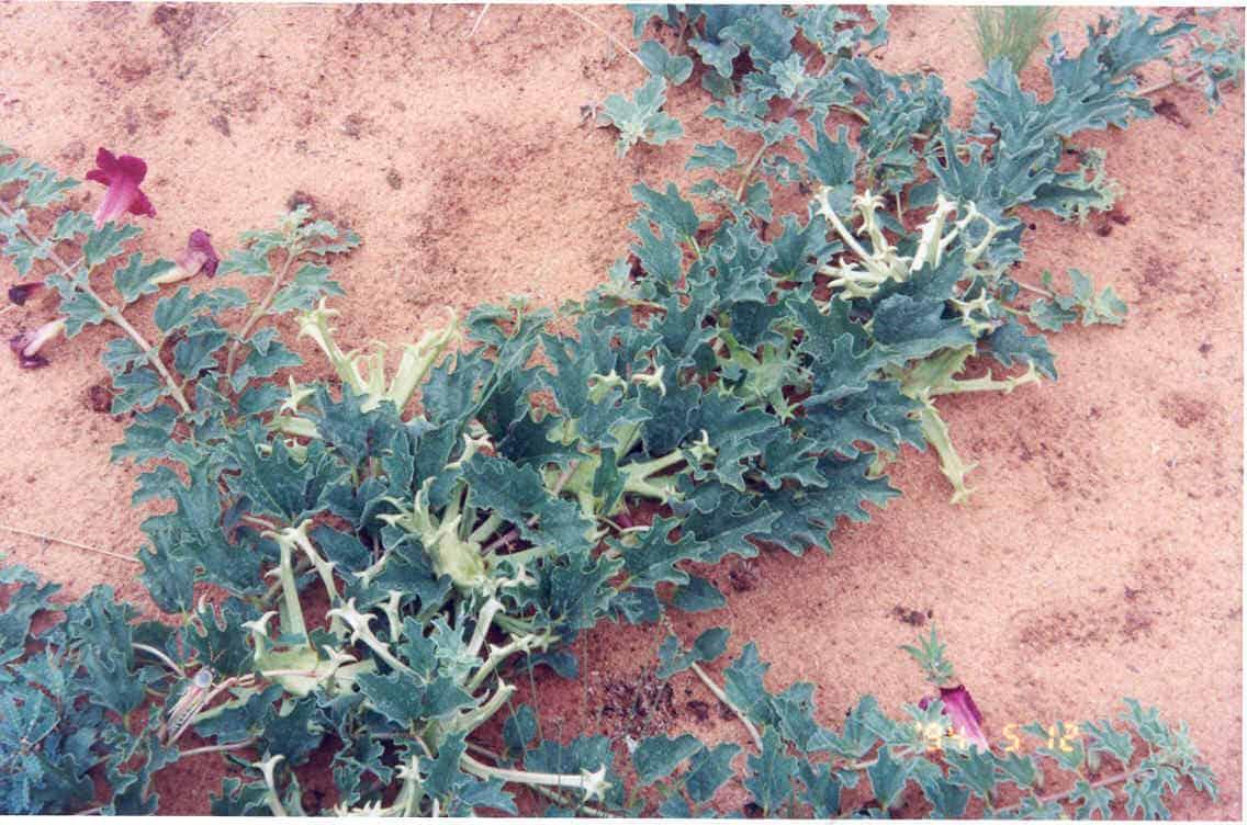 Une plante pour lutter contre la lombalgie