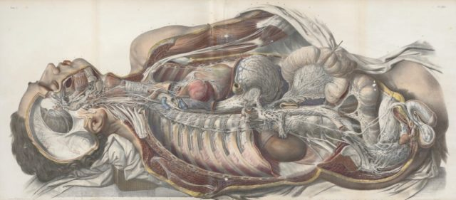 Anatomie nerfs splanchniques