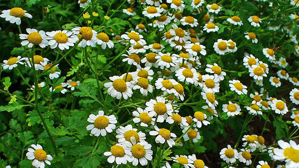 Une plante pour prévenir la migraine