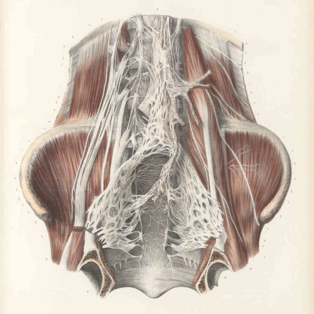 anastomoses cavité pelvienne