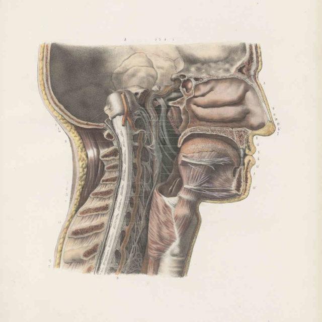 nerfs cervicaux